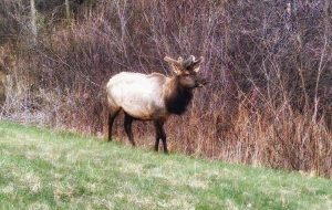 clam-lake-bull-elk