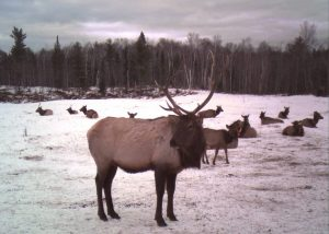 clam-lake-elk-3
