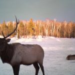 Clam Lake Bull Elk