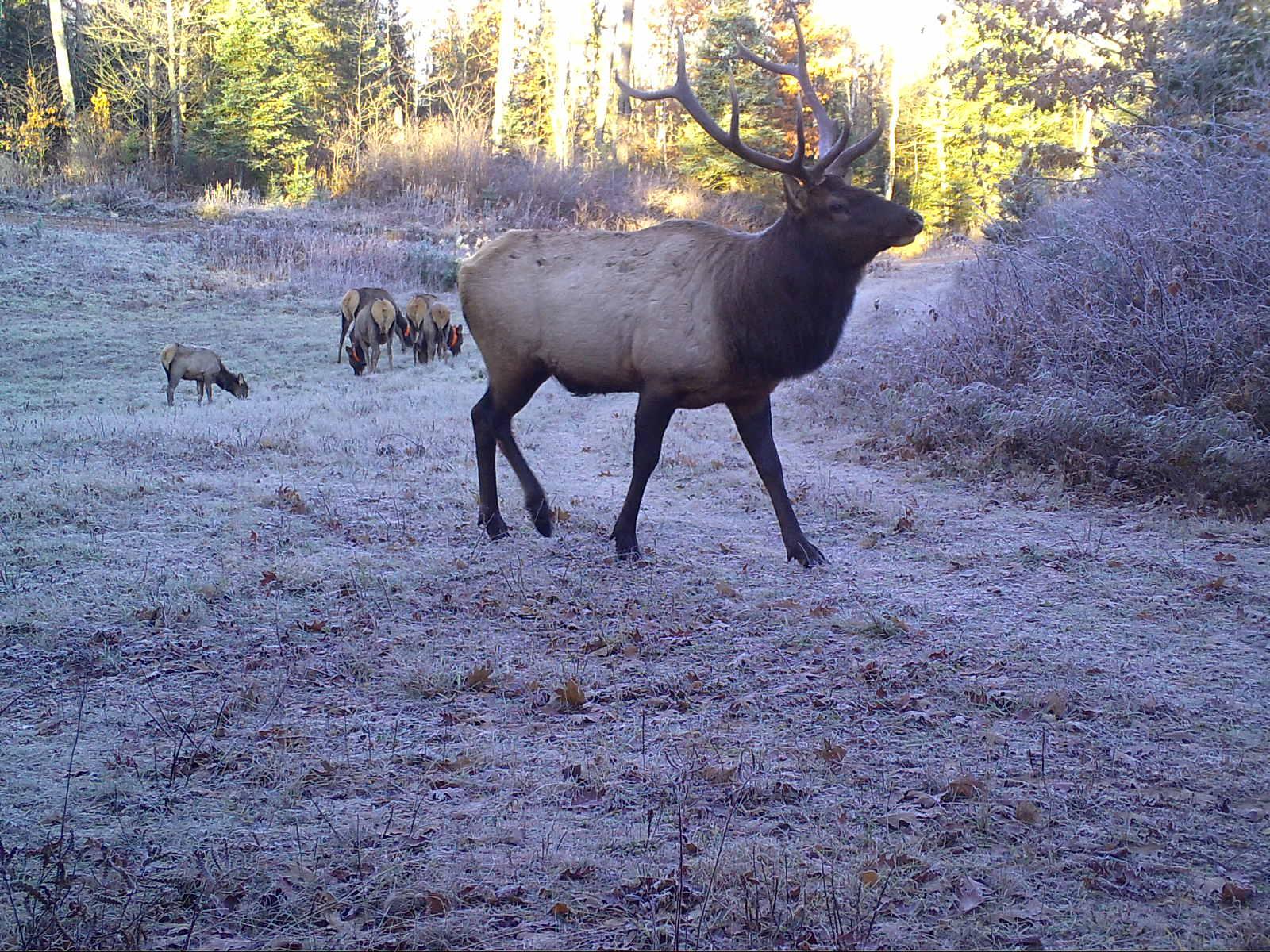 Clam Lake WI Bull Elk Harem